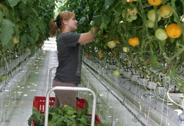 Сбор урожая в теплицах Калужской области